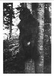 Original Bruin Pelt on Tree #2 by George Fox University